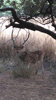 Deer at Van Vihar National Park Madhya Pradesh 13-Jan-2016.jpg