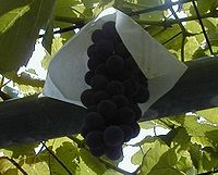 Delaware grape close up.JPG