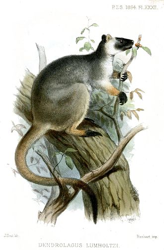 Lumholtz's tree-kangaroo - Lithograph of Dendrolagus lumholtzi by Joseph Smit, from Proceedings of the general meetings for scientific business of the Zoological Society of London, 1884