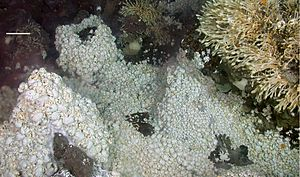 Hydrothermal vent - A dense fauna (Kiwa anomurans and Vulcanolepas-like stalked barnacles) near East Scotia Ridge vents