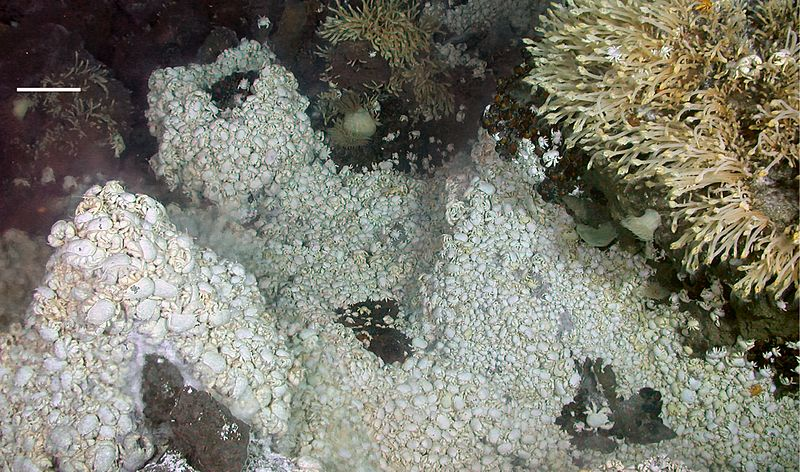 Dense mass of anomuran crab Kiwa around deep-sea hydrothermal vent.jpg