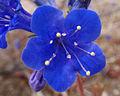 Desert Bluebells 01 (7060625691).jpg