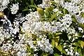 Deutzia gracilis Duncan 0zz.jpg