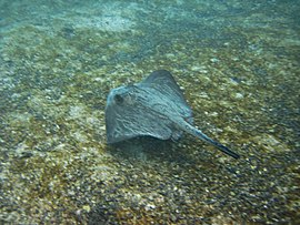 Diamond stingray galapagos2.jpg