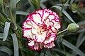 Dianthus caryophyllus Brocade 0zz.jpg