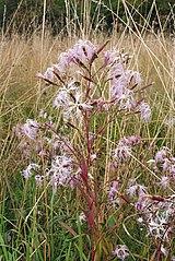 Klinček pyšný (Dianthus superbus)