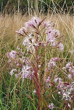 Dianthus superbus 140805a.jpg