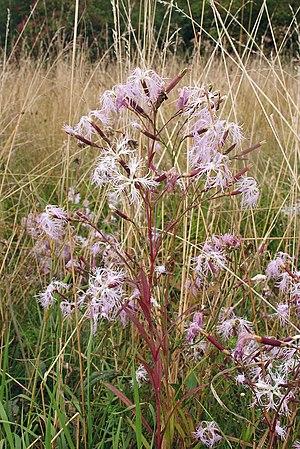 Dianthus - Dianthus superbus