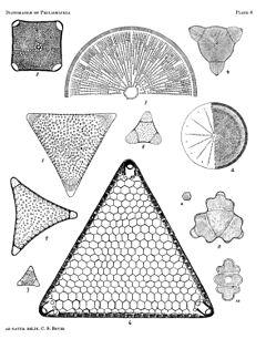240px diatomaceae of philadelphia plate 06