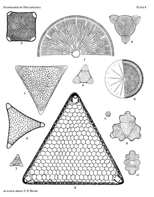 500px diatomaceae of philadelphia plate 06