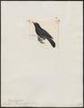 Diglossa aterrima - 1820-1860 - Print - Iconographia Zoologica - Special Collections University of Amsterdam - UBA01 IZ19000417.tif