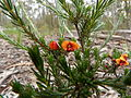 Dillwynia sericea 2.jpg