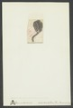 Dimerocrinus icosidactylus - - Print - Iconographia Zoologica - Special Collections University of Amsterdam - UBAINV0274 007 02 0062.tif