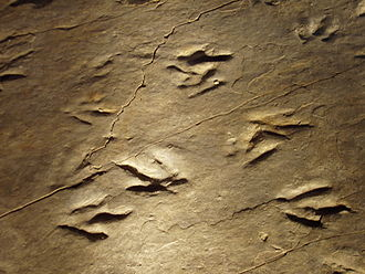 Dinosaur State Park and Arboretum - Close-up of Eubrontes prints