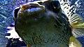 Diodon holocanthus - Poisson porc-épic à taches - Aqua Porte Dorée 01.JPG