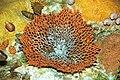 Diorama of a Devonian seafloor - fenestrate bryozoan, corals, brachiopods, gastropod (30717355177).jpg