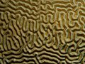 Diplora strigosa (Symmetrical Brain Coral) closeup.jpg