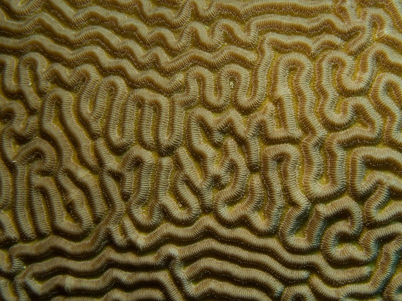 Diplora strigosa (Symmetrical Brain Coral) closeup