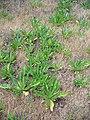 Dipsacus sativus-12.jpg