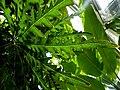 Dizygotheca elegantissima (3).jpg