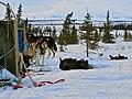 Dog Sled Trip in Denali (12080566815).jpg