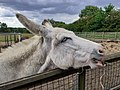 Donkey in Bromley Eating Grass.jpg