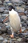 Due to a fast crossing of the Drake passage, we have a bonus landing at Turret Point on the S shore of King George Island.nesting Adelie Penguins (Pygoscelis adeliea). (25877877152).jpg