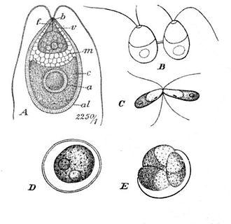 Dunaliella - Dunaliella salina Teodor. A: Vegetative cell, B: Zoospores in cell division, C: Mating gametes, D: Ripe zygospore, E: Zygospore germination