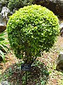 Duranta erecta - Kunming Botanical Garden - DSC03021.JPG