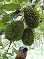 Durian in tree.jpg