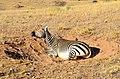 Dust bathing mountain zebra, Namibia.jpg