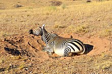 Mountain zebra dust bathing