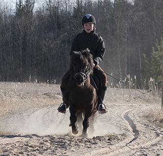 Shetland pony Scottish breed of traditional pony