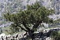 Dwarf juniper tree in Yenicekale 01.jpg