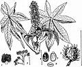 EB1911 - Euphorbiaceae - Fig. 3, Castor Oil.jpg