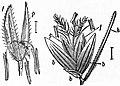 EB1911 - Grasses Fig. 9, 10.jpg