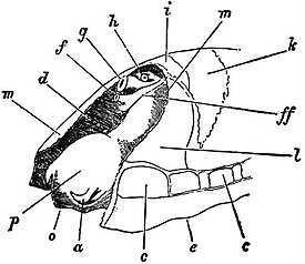 eb1911 gastropoda - patella vulgata viewed from the left front jpg
