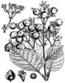 EB1911 Teak (Tectona grandis).png