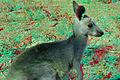 Eastern Grey Baby Kangaroo (Joey) 3D.jpg