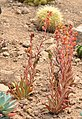 Echeveria paniculata var. maculata Jardin exotique & botanique de Roscoff.jpg