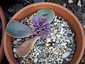Echeveria that almost died (4526090679).jpg