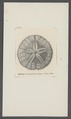 Echinarachnius parma - - Print - Iconographia Zoologica - Special Collections University of Amsterdam - UBAINV0274 106 05 0002.tif