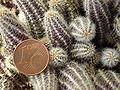 Echinopsis chamaecereus.2006-04-16.3.uellue.jpg