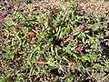 Echium lancerottense Montana Roja.jpg