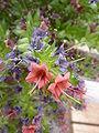Echium wildpretii (Boraginaceae) flowers.JPG
