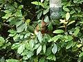 Ecureuil roux 11 06 (11).jpg
