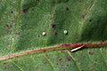 Egg of Lycaena dispar and Lycaena phleas.jpg
