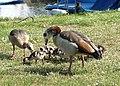 Egyptian geese (Alopochen aegyptiacus) - geograph.org.uk - 812442.jpg