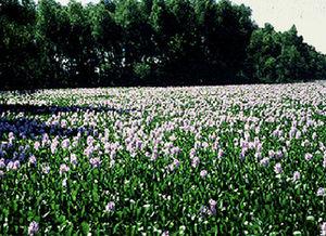 Achenyo Idachaba - A pond covered with water hyacinth