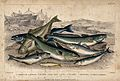 Eight different species of fish, including cod, haddock, hal Wellcome V0021278.jpg